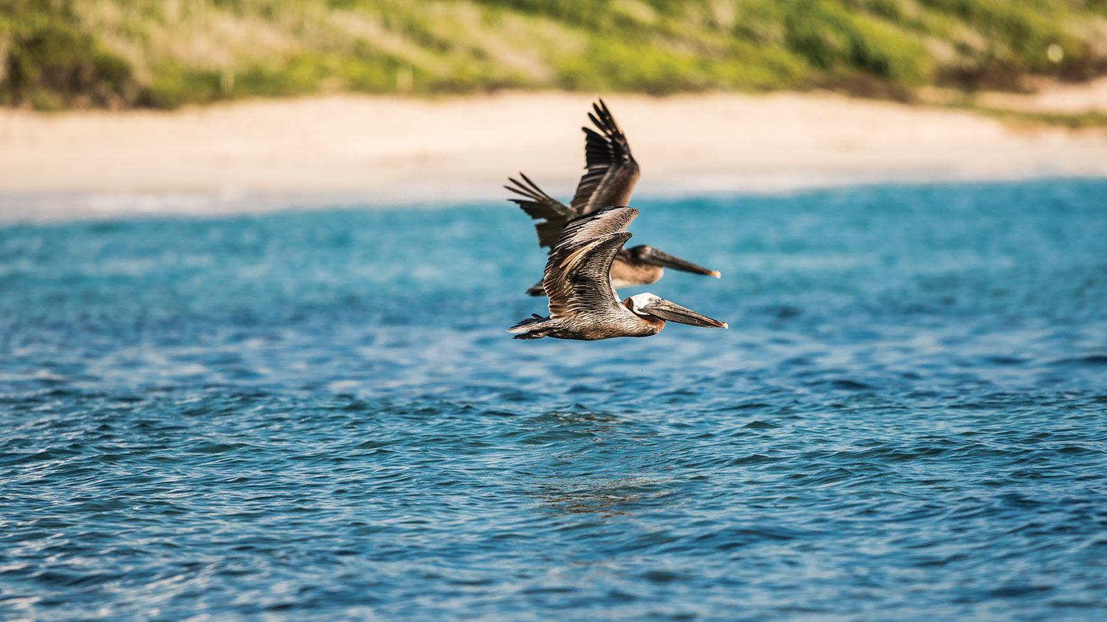 half moon bay pelicans