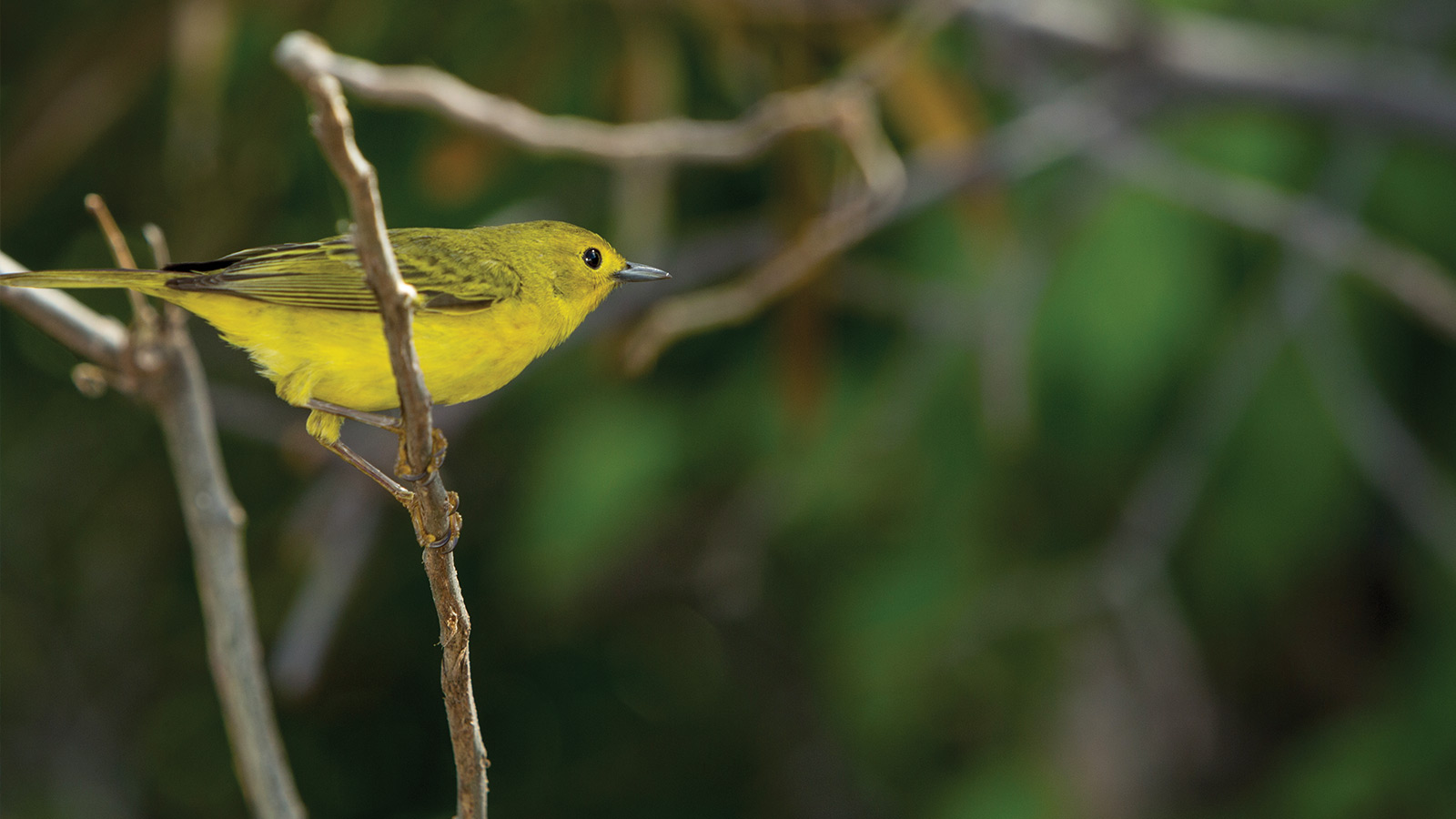 half moon bay yellow warbler